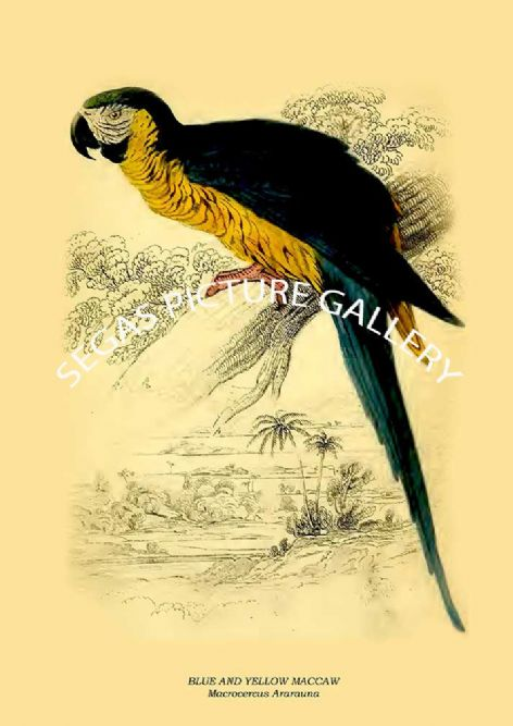Fine art print of the BLUE AND YELLOW MACCAW - Macrocercus Ararauna by Prideaux J. Selby (1836)